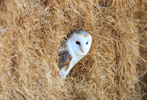 Barl Owl hiding in a bale of hay