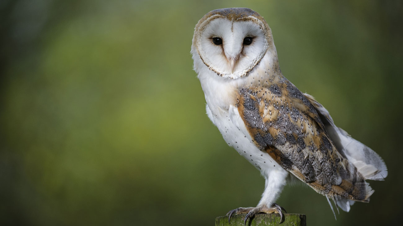 Barn Owl Surveys From Licensed Surveyors Contract Ecology