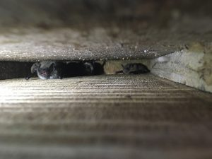 bats tucked up inside bat box