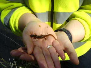 common newt in ecologist hand