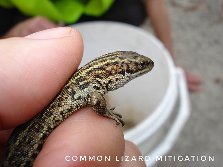 Common lizard mitigation