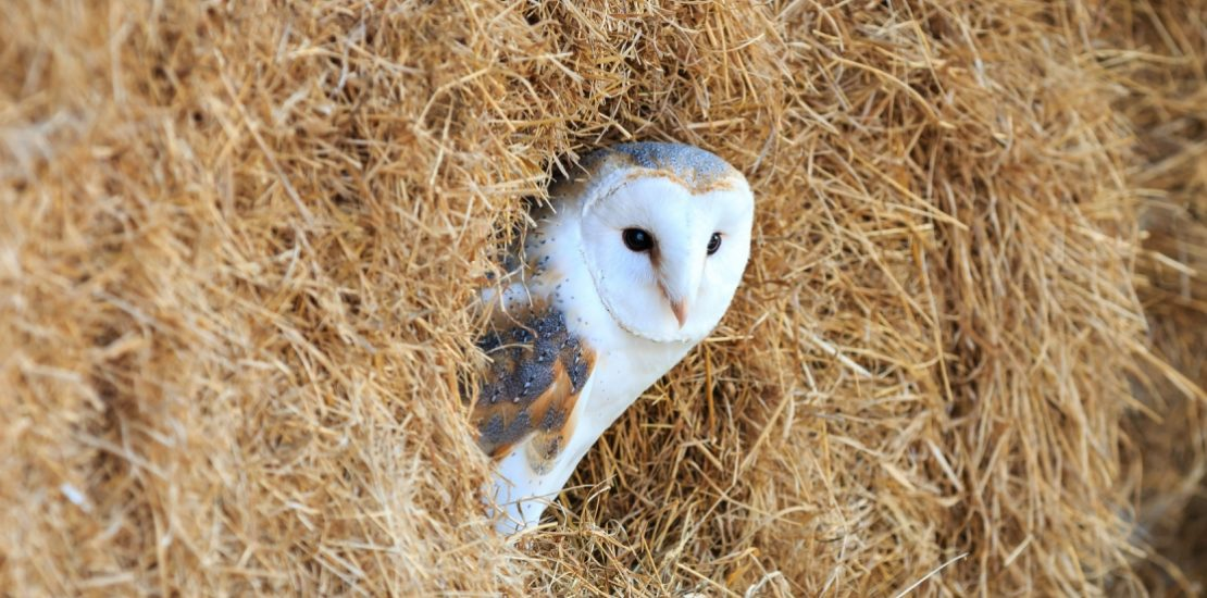 State Of The Uk Barn Owl Population 2016 Contract Ecology