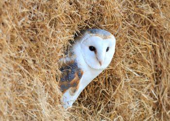 Barn Owl Report Cheshire