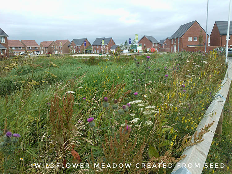 Wildflower meadow created from seed